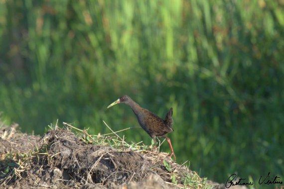 Saracura-do-banhado em Jaguaruna - SC