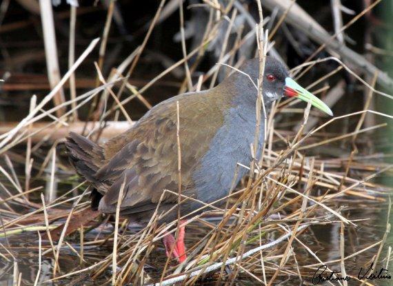 Saracura-do-banhado em Laguna - SC