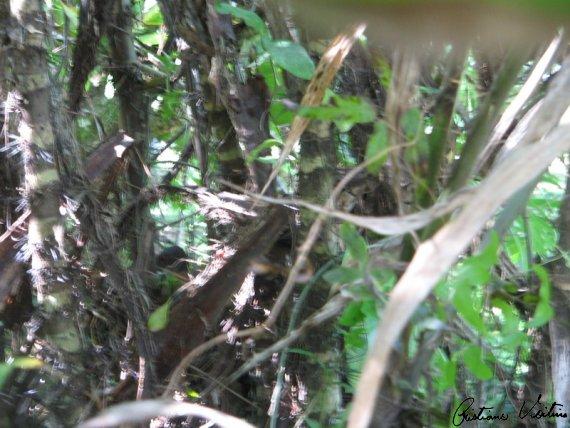 Saracura-do-mato em  - SC
