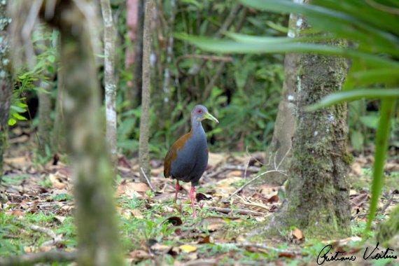 Saracura-do-mato em Guabiruba - SC