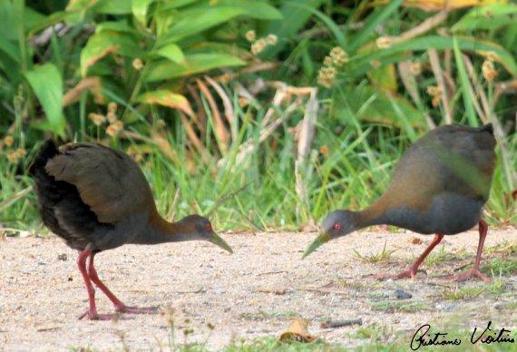 Saracura-do-mato em Bombinhas - SC