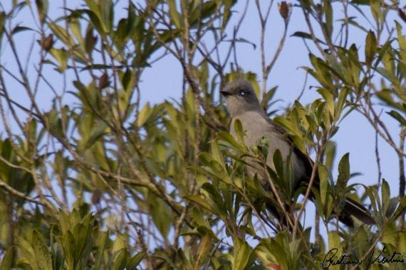 Tesoura-cinzenta em Itaiopolis - SC