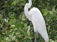 Garça-branca-grande - Cristiano Voitina