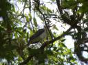 Gavião-pombo-grande - Cristiano Voitina