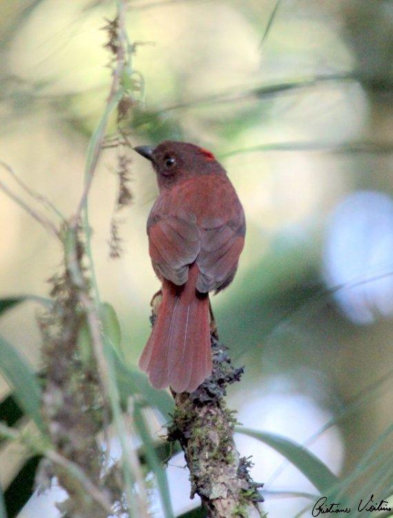 Tiê-do-mato-grosso em Itapoa - SC