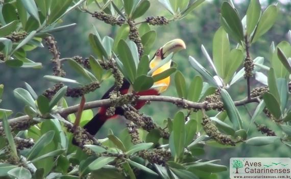 Tucano-de-bico-verde em Balneario Camboriu - SC